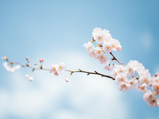Kirschblüte, Neuanfang, Frühling